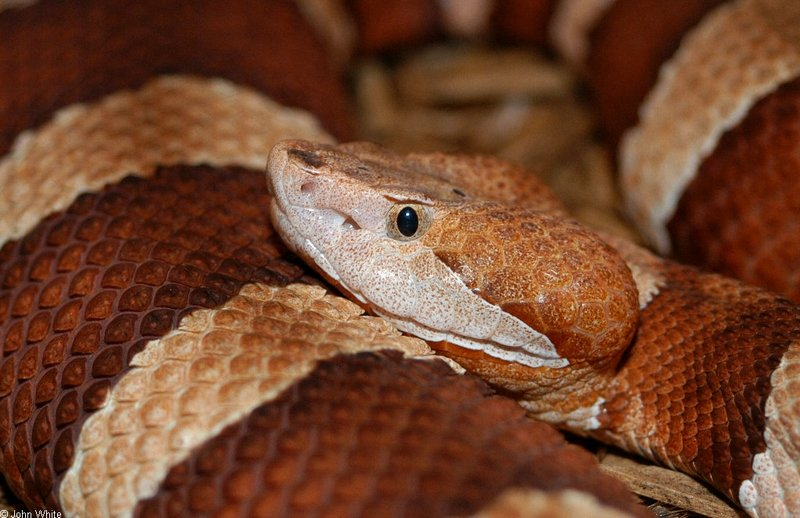 Broad-Banded Copperhead Closeup