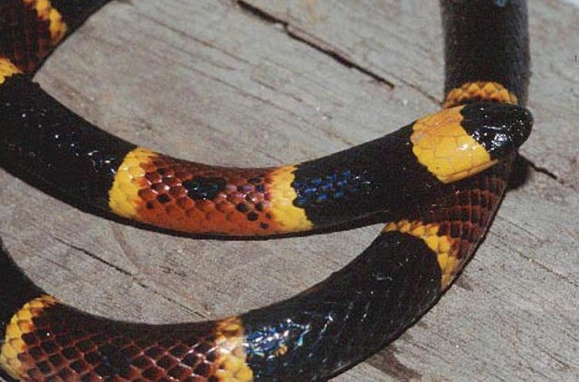 Eastern Coral Snake