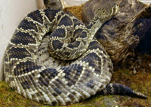 Eastern Diamondback Rattlesnake photo