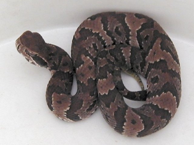 Florida Cottonmouth juvenile photo