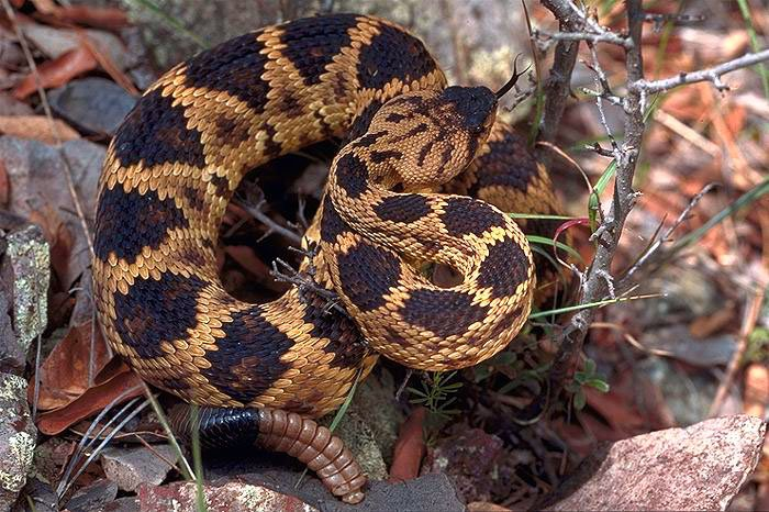 Northern Blacktailed Rattlesnake