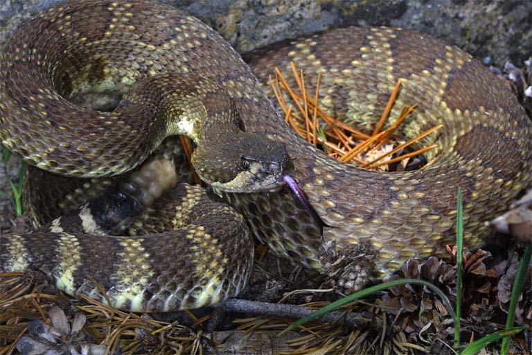 Venombyte.com - Venomous Snakes - Northern Pacific Rattlesnake
