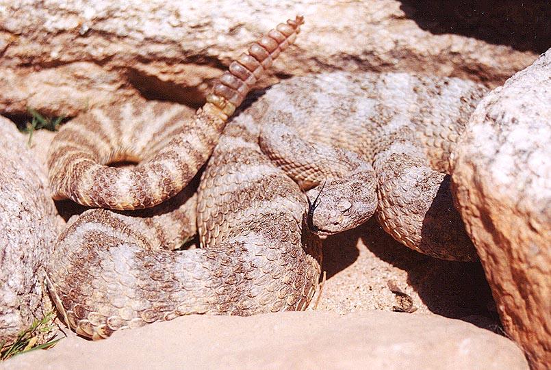 Tiger Rattlesnake - photo#2