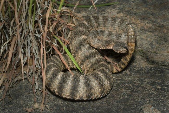Venombyte.com - Venomous Snakes - Tiger Rattlesnake - photo#5