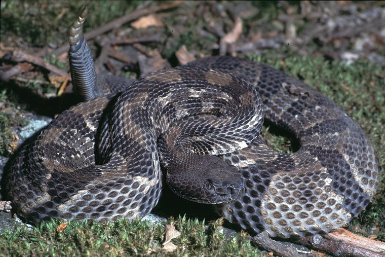Timber Rattlesnake photo