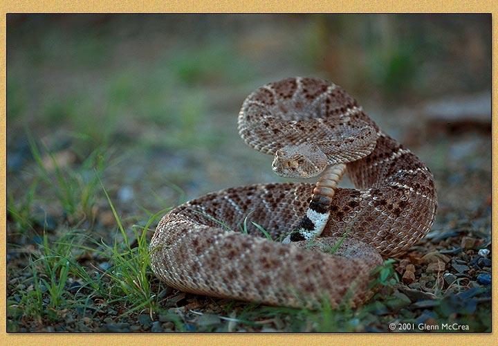 Western diamondback rattlesnake venom - photo#17