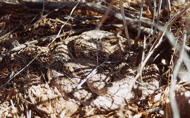 Western diamondback rattlesnake venom - photo#7