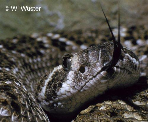 Western diamondback rattlesnake venom - photo#4