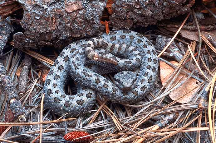 Western Twin Spotted Rattlesnake