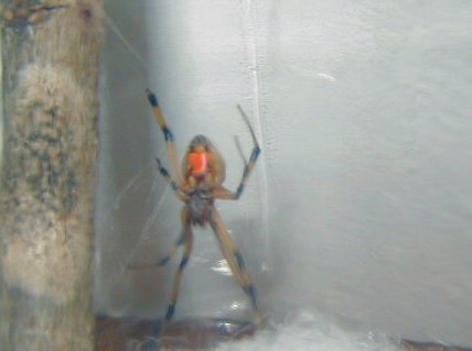 brown widow spider bites pictures. Brown Widow Underneath
